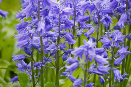 Candle Fragrance Oil - Blue Bells